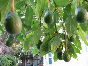 Grow-Avocado
